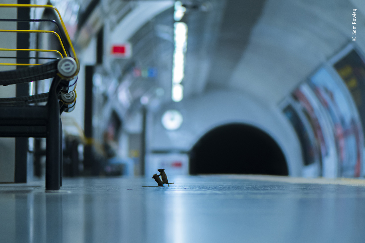 Two Mice Photographed in a Comically Dramatic Struggle in the London Underground