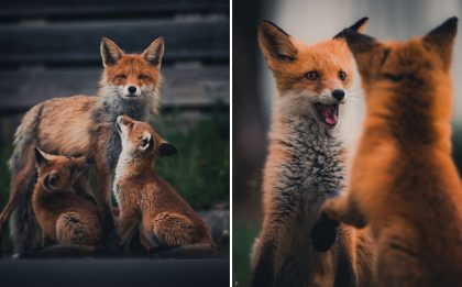 Foxes Caught in Dramatic Squabbles and Sleepy Coils by Photographer Konsta Punkka