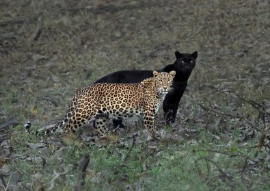 Rare Black Panther Shadows His Leopard Mate in Incredible Shot by Photographer Mithun H