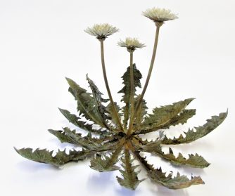 Meticulously Sculpted and Tarnished Dandelions Preserve the Herb's Ephemeral Nature in Metal